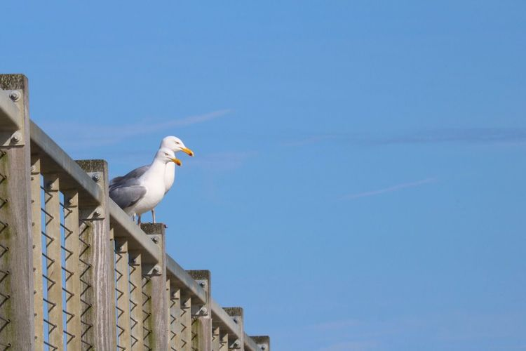 Low angle view of seagull against blue sky