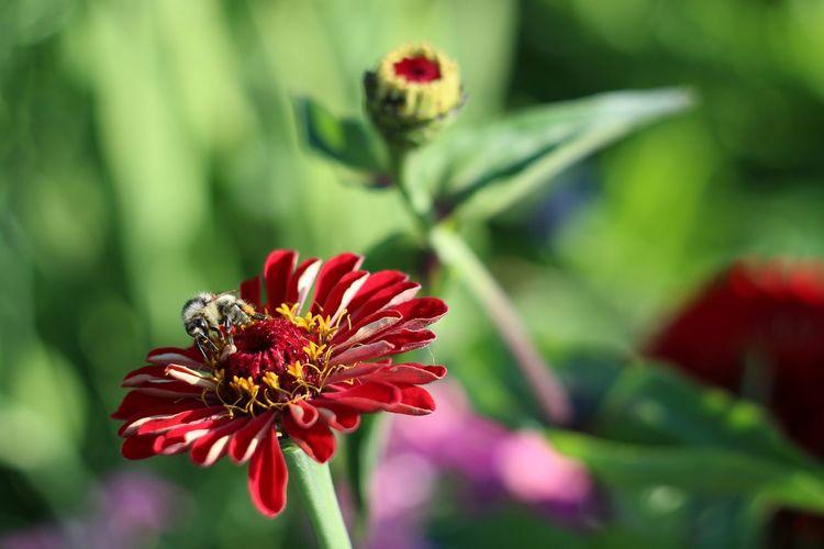 Bee Flower Flowers Nature Flowerporn Flower Collection EyeEm Nature Lover Helios 44-2 58mm F2 Helios 44-2 44-2