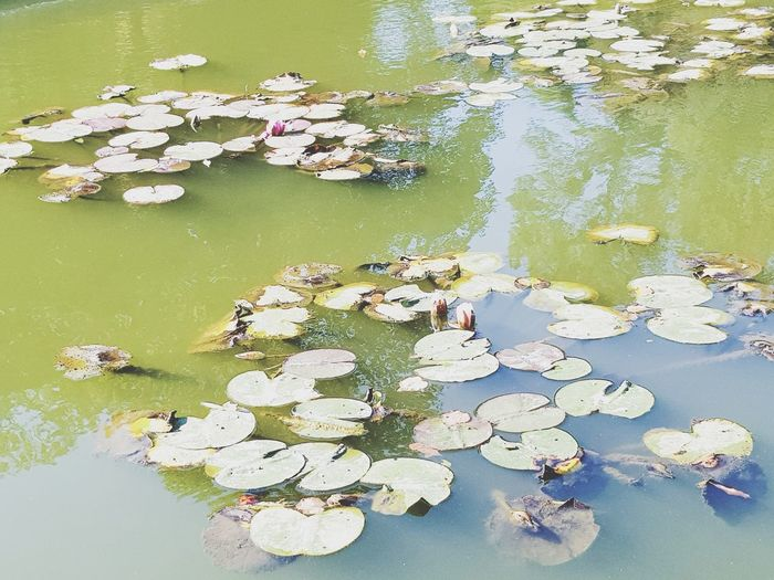 Water Flower Reflection Nature Floating On Water Lake Beauty In Nature Water Lily Leaf Tranquility No People High Angle View Day Outdoors Water Plant Plant Lily Pad Lotus Water Lily Tree Freshness