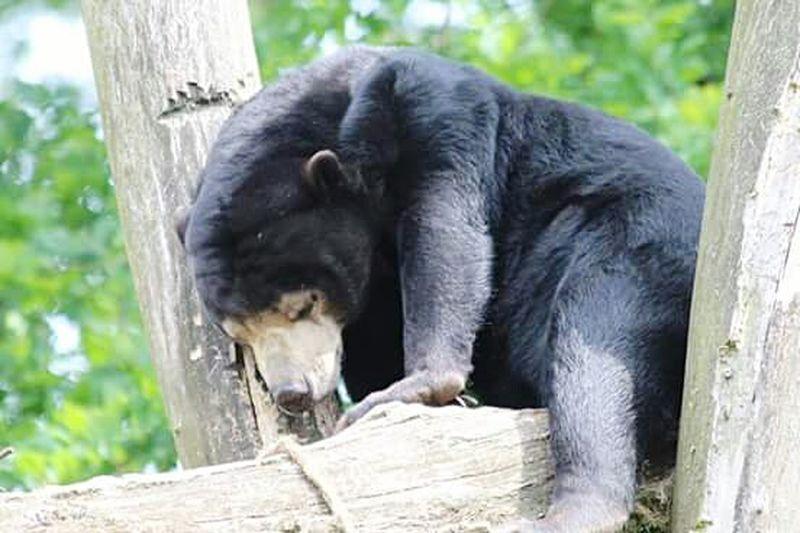 Bear Sleeping Sleeping Bear Canoneos1300D Love To Take Photos ❤ Zoophotography Fresh On Eyeem  Canonphotography Burgers Zoo The Week On Eyem Zooanimals Animal Photography