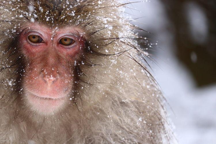 🎉Happy New Year🎉今年もよろしくお願いします🙏亥年どけど温泉猿が続く🐒😝 温泉猿 スノーモンキー 猿 長野県 地獄谷野猿公苑 サル 写真を撮るのが好きな人と繋がりたい 写真すきな人と繋がりたい Japanese Macaque Baboon Portrait Water Looking At Camera Ape Wet Close-up