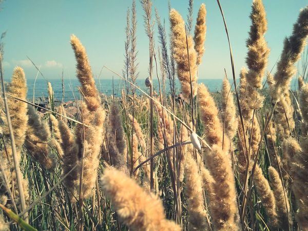 Growth Plant Nature Cereal Plant Field Rural Scene Crop  Agriculture Outdoors Day No People Beauty In Nature Wheat Sky Close-up Grass Freshness