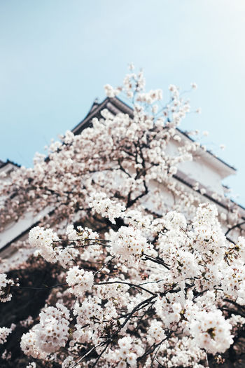 Sakura Freshness No People Nature Fragility Flower Close-up Flowering Plant Focus On Foreground Plant Day Cherry Blossom Vulnerability  Selective Focus Growth Outdoors Tree Blossom Beauty In Nature Springtime Still Life Sakura Sakura Blossom Sakura Trees