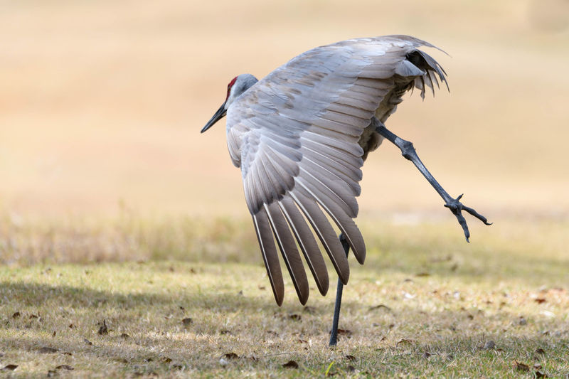 Dancing Crane Dance The Dancer Animals In The Wild Balancing Beauty In Nature Bird Close-up Full Length Nature No People Sandhill Crane Spread Wings