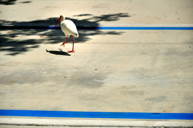 American White Ibis Bird Birds Blue Line Concrete Day Florida Nature Outdoors Pavement Street Concrete Water Bird Adapted To The City The Street Photographer - 2017 EyeEm Awards