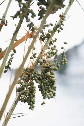 Dates Date Beauty In Nature Branch Close-up Date Palm Tree Day Focus On Foreground Food Food And Drink Freshness Fruit Fruit Photography Green Color Growth Healthy Eating Leaf Nature No People Outdoors Plant Plant Part Tree