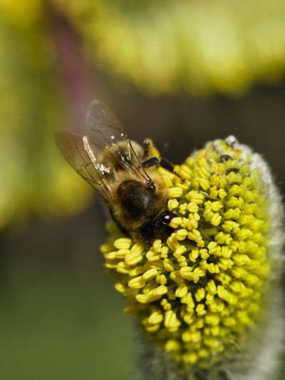 Animal Animal Themes Animal Wildlife Animal Wing Animals In The Wild Beauty In Nature Bee Close-up Flower Flower Head Flowering Plant Fragility Growth Insect Invertebrate Macro_collection No People One Animal Outdoors Petal Plant Pollen Pollination Vulnerability  Yellow