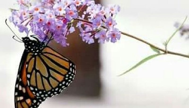 Insect Animal Themes Close-up Nature One Animal Plant No People Animals In The Wild Beauty In Nature Butterfly - Insect Flower Day Outdoors Fragility Pollination Monarch Butterfly