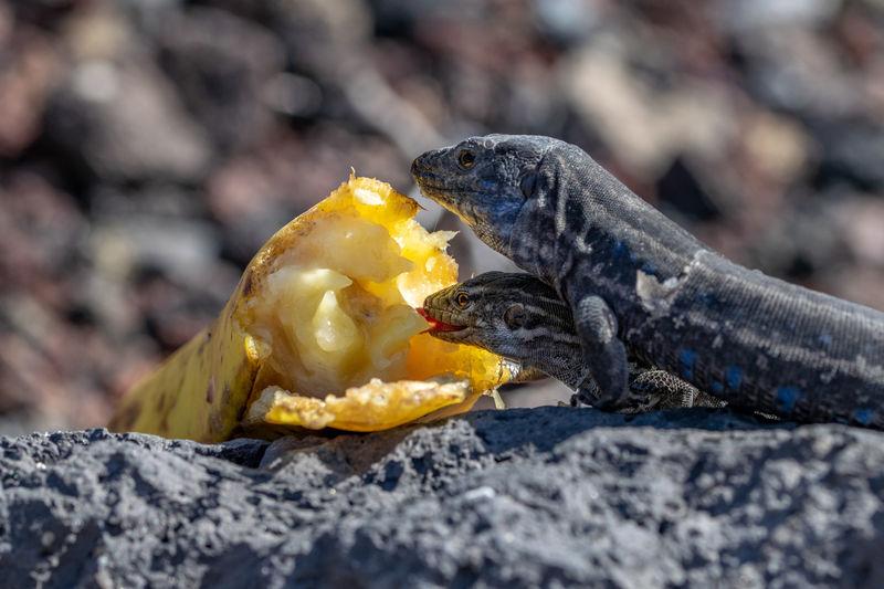 La palma wall lizard, gallotia galloti palmae, resting on volcanic rock eating banana