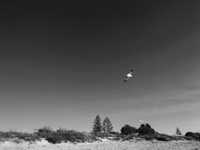 Free As A Bird .. Free Flying Bird Seagull Flying High Freedom Soaring Hovering Mid-air Moody Sky Day Warm Tone Outdoors Nature Pine Tree Beach Sandy Beach White Sands Beach Life Life Of Freedom Breathing Space Black & White B&W Collection — in Australia The Week On EyeEm