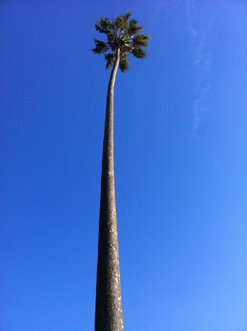 Negative Space No Edit/no Filter Endless Blue Palm Tree