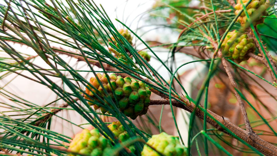 just click Nature Central Java INDONESIA Mobilephotography Wallpaper Flower Tree Pine Tree Pinaceae Close-up Grass Plant Green Color Sky Plant Life Plant Part Pine Cone Growing Young Plant