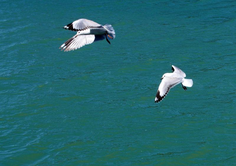 Flight Over Water Nelson New Zealand Bird Wildlife Bird Wings Birds In Flight Blue Green Water Daylight Two Birds Water
