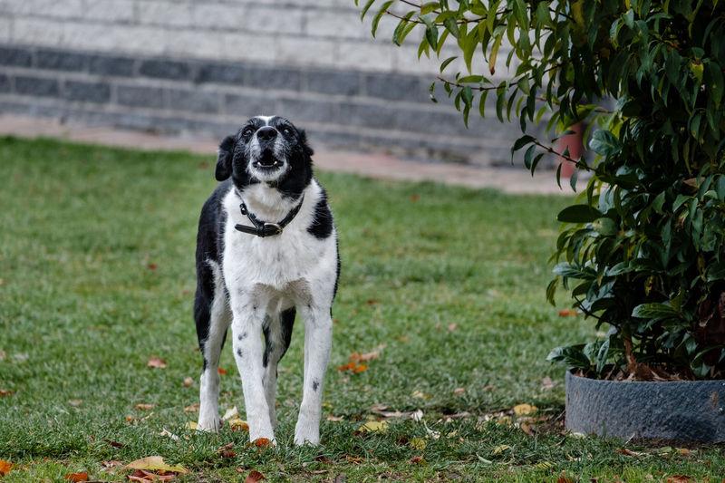 Fujifilm Fujifilm_xseries FUJIFILM X-T2 Dog Canine One Animal Domestic Plant Mammal Animal Themes Domestic Animals Pets Animal Grass Nature Day Focus On Foreground Looking No People Aggressive Barking