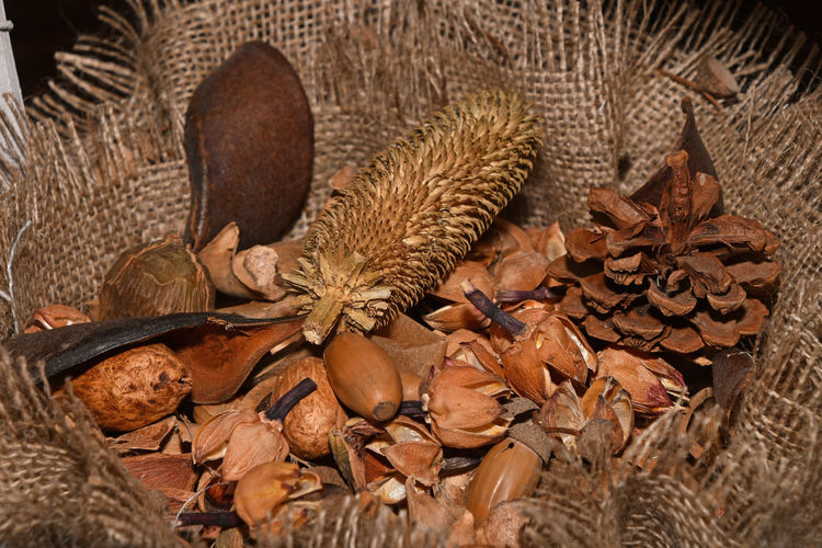 Pine cone and chest nut bur