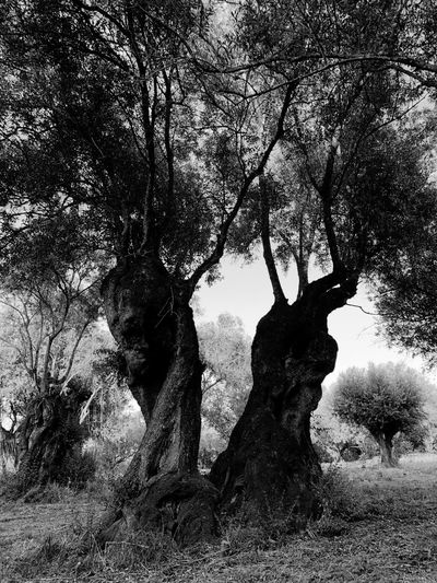 Old tree Millenary Olive Tree EyeEm Nature Lover Magic Tree Millenary Tree Millenary Olive Millenary Olive Tree Oliveira Milenar Oliveira Centenary Tree Old Tree Old Blackandwhite Photography Black & White Blackandwhite Black And White Plant Nature Day Outdoors Branch Sky Trunk Tree Trunk Beauty In Nature EyeEm Nature Lover Magic Tree Millenary Tree Millenary Olive Millenary Olive Tree Oliveira Milenar Oliveira Centenary Tree Old Tree Old Blackandwhite Photography Black & White Blackandwhite Black And White Plant Nature Day Outdoors Branch Sky Trunk Tree Trunk Beauty In Nature