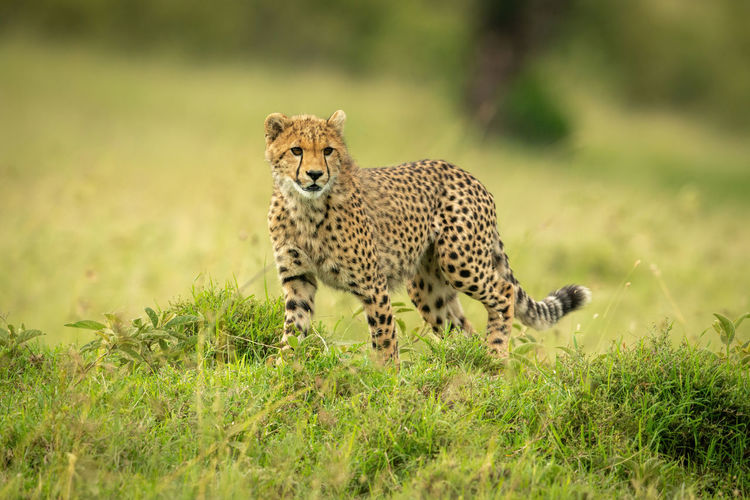 Cheetah cub stands in grass turning head