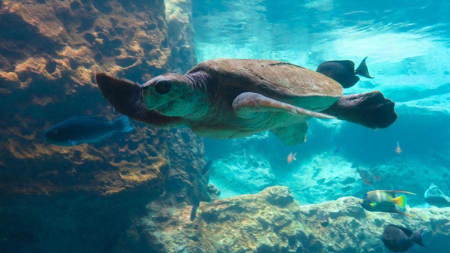 Sea Turtle Swimming With Fish In Aquarium