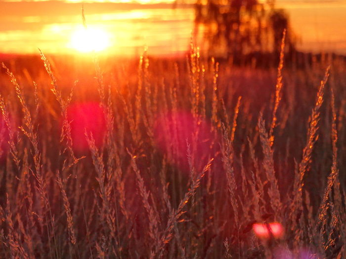A summer sunrise, seen from the grass Morning Morning Light Morning Sun Beauty In Nature Lens Flare Orange Color Outdoors Plant Summer Morning Sun Sunrise