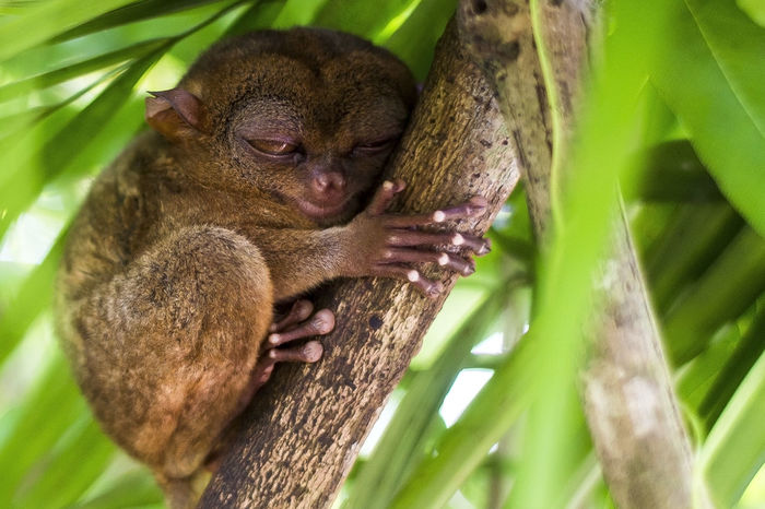 The Tarsier is one of the most unique primates on the planet and they are also known to have the largest eyes of any mammal in relation to their body size (each eye is actually heavier than its brain). Their populations are present primarily on the islands of Bohol, Samar, Leyte and is really a tiny body is no more than a human proud & lucky to capture this cute thing when I got to travel on one of the tourist spots in Bohol, Philippines along with my family. My Best Travel Photo Animal Animal Wildlife Animals In The Wild Close-up Mammal Nature One Animal Outdoors Primate