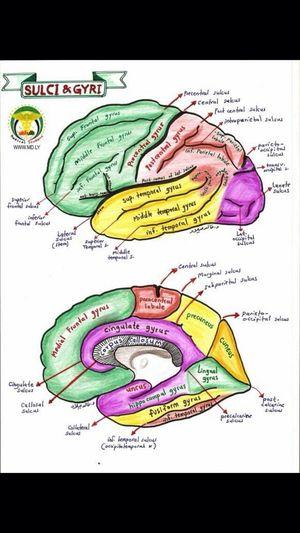 Brain Transection One Needed  Anatomy Grey's Anatomy