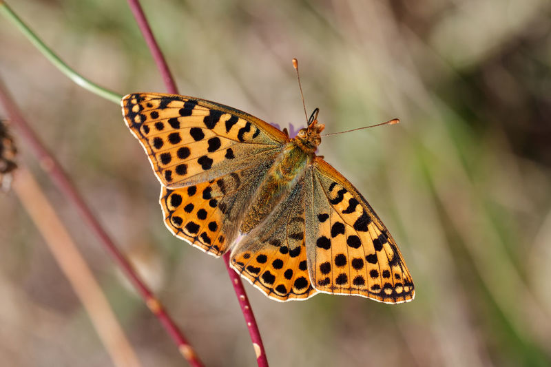 kleiner perlmuttfalter Kleiner Perlmuttfalter Silbriger Perlmuttfalter Queen Of Spain Fritillary Issoria Lathonia Insect One Animal Animal Themes Invertebrate Animal Wildlife Beauty In Nature Animals In The Wild Animal Close-up No People Flower Plant Issoria Perlmuttfalter Argynnini Heliconiinae Passionsblumenfalter Fritillaria Fritillary Fritillary Butterfly Nymphalidae Nymphalidae Family Edelfalter Brushfoots Brush-footed Butterfly Lepidoptera Lepidopterans Lepidopteran Insects Schmetterlinge Schmetterlinge - Butterflies Schmetterling Schmetterling Auf Blume🌾 Butterfly Butterfly - Insect Butterfly Collection Butterfly Macro Butterflies Butterflies And Flowers