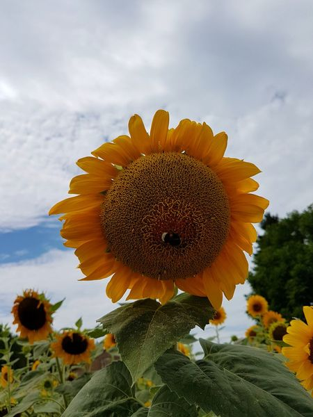 Flower Nature Flower Head Fragility Plant Growth Sky Cloud - Sky Beauty In Nature Petal Sunflower Close-up Outdoors Tranquility Uncultivated Day No People Landscape Freshness Scenics Tranquility Rural Scene Sunflowers