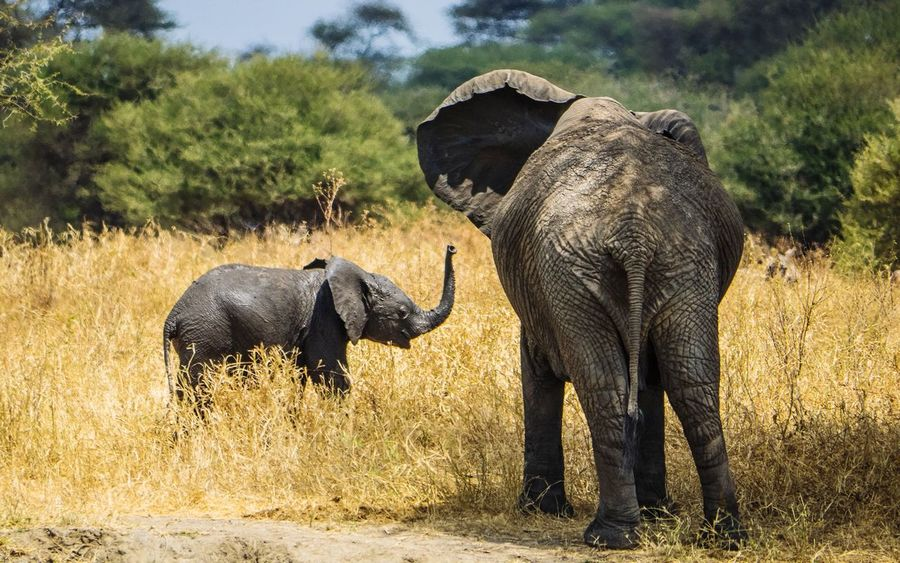 Wildlife Nature Safari Animals Safari Puppy Tarangire National Park Tanzania Africa Animals In The Wild Animal Wildlife Elephant Outdoors Nature Animal Themes Safari Animals Day Mammal No People African Elephant Animal Trunk Beauty In Nature