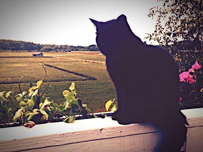 Cat♡ Landscape Black Cats Outdoors New England  Massachusetts Tranquil Scene Duxbury, Ma Black Cat Is Just So Beautiful. Black Cat Ilovemycat