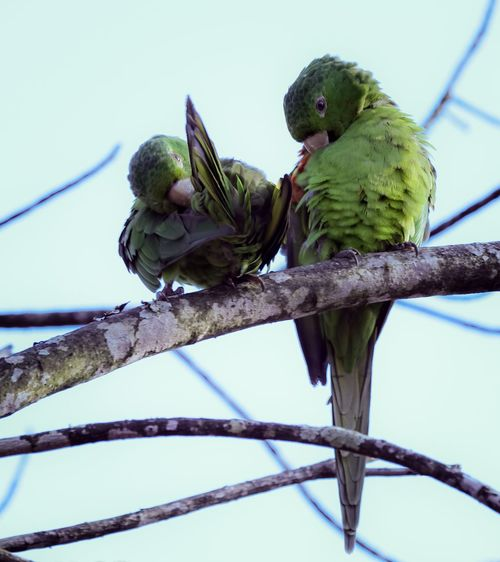 Nature Vibes | The Couple Parakeet Animals In The Wild Low Angle View Animal Themes Perching Animal Wildlife Day Branch Nature Bird No People Outdoors Tree Clear Sky Parrot Sky Beauty In Nature
