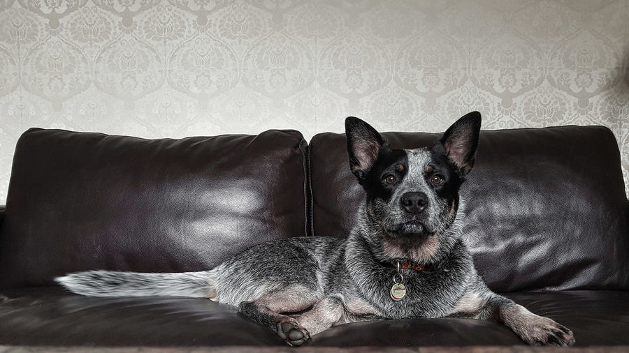 Australian Cattle Dog Blue Heeler Blue Heelers Dog Spoilt Dog Pride Pets Indoor Pets Domestic Animals Loyalty Pet Portraits Working Dog Couch Lounge Wallpaper Samsung S7 Samsung Galaxy S7