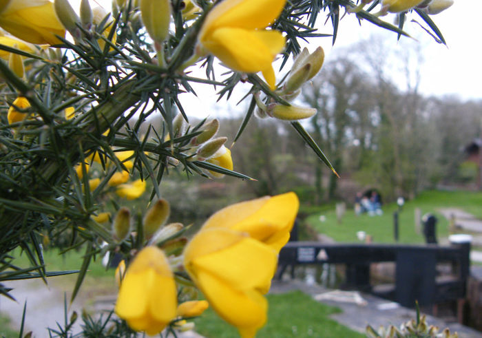 Beauty In Nature Blooming Close-up Day Flower Flower Head Fragility Freshness Gorse Gorse Bush Gorse Flowers Growth Nature No People Outdoors Petal Plant Yellow