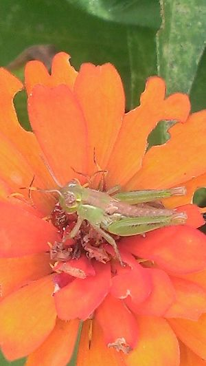 This grasshopper is about 1/4 of an inch long. And it still found a way to the top of my flower garden! Frommygarden Smartphonephotography Check This Out Taking Photos Blossom Nature Plants Insects