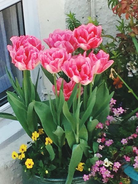 Window Display Windowgarden Pink Flowers Beauty In Nature Flower Fragility Freshness Petal Pink Color Flower Head Beauty In Nature Nature Plant Leaf Growth Close-up Blooming Green Color No People Day Outdoors