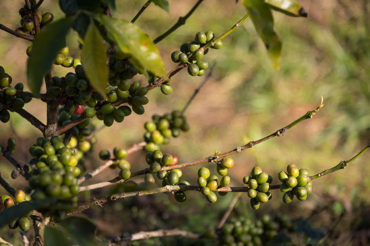 Coffee beans on branch waiting to harvest. Coffee Coffee Farm Coffee Plantations Farm Agricultural Agriculture Berry Coffee Bean Coffee Beans Coffee Plant Food And Drink Growth Healthy Eating Plant