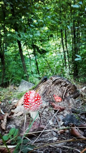 Romania 😍Forest Nature Tree Growth Day Red Outdoors Beauty In Nature No People Tranquility Mushroom Fly Agaric Mushroom Plant Leaf Fungus Fragility Toadstool Close-up