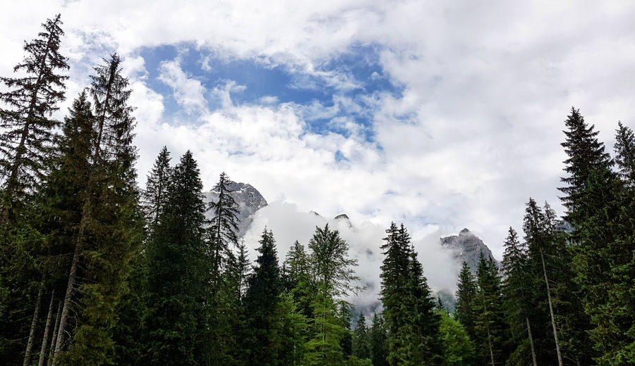 Low angle view of pine trees against sky
