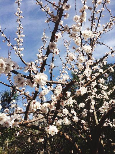 Apricot Tree Springtime Spring Flowers Nature Photography EyeEm Nature Lover Nature_collection Showcase March HAYAT BEKLEMEK İÇİN ÇOK KISA EyeEm Gallery Krmz1978 Aşk💞aşk💞aşk IPhoneography