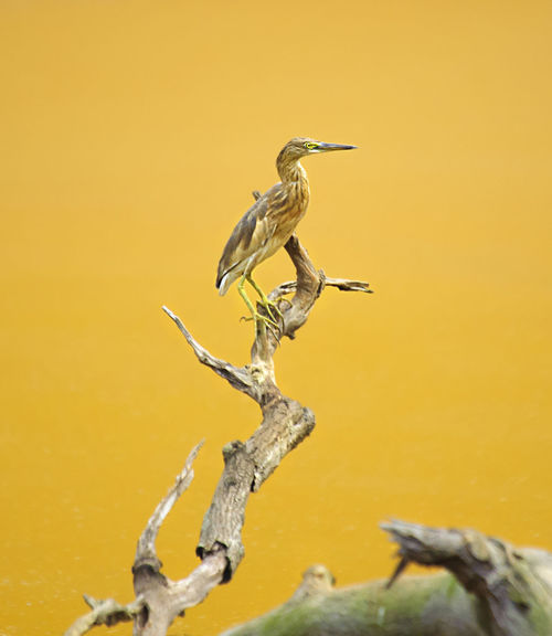 ARDEOLA BACCHUS on a branch with yellow lake at jakarta , indonesia Animal Animal Wildlife ARDEOLA BACCHUS Avian Beauty In Nature Blekok BLEKOK SAWAH Close-up Day Focus On Foreground Nature No People Outdoors Wildlife Wildlife & Nature