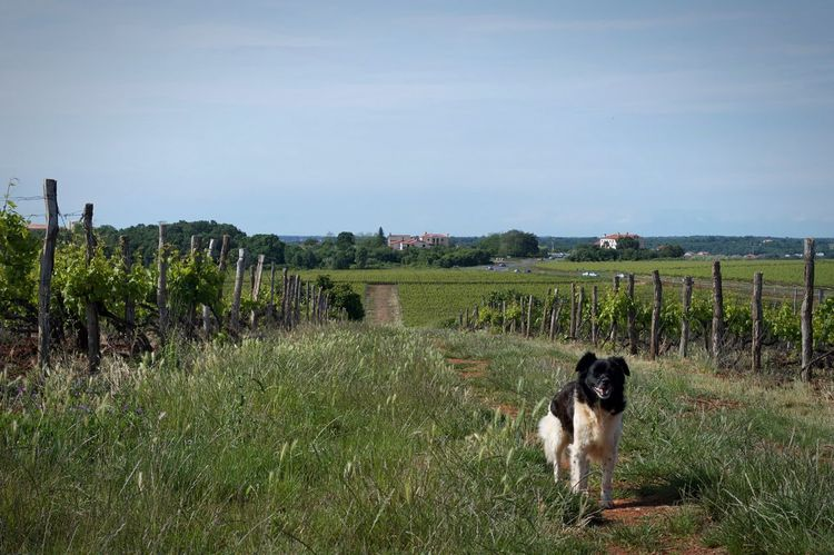 Dog Vineyard Wine Croatia Hanging Out Check This Out Relaxing Enjoying Life Sunny Day Enjoying The View Enjoy Nature