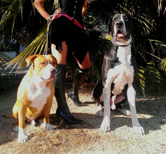 Dogs Of EyeEm Great Dane Pitbull Big Dogs My Pets♥ Xxl Bully Rednose Pitbull Great Dane Love.❤ Animal Photography Big Pets Animal_collection Sexylegs Outside Photography Walking The Dog Bullylife Ace and Kong Best Dogs Beautiful Animals  Pet Portraits