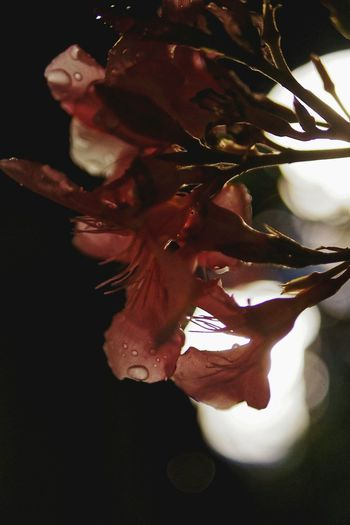 Flower Nature Blossom Fresh Dark Light Streetphotography Close Up Red Showing Imperfection Cities At Night Nature Diversities