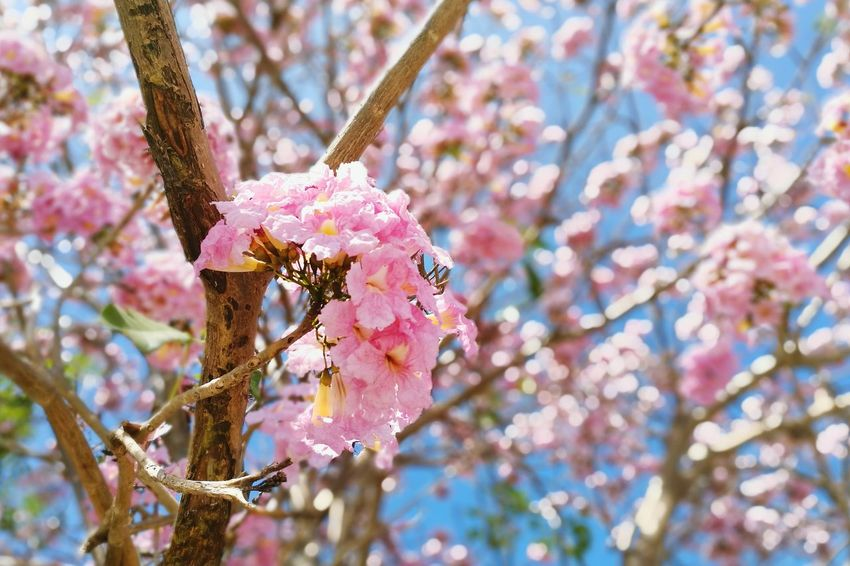 Flower Pink Color Nature Freshness Beauty In Nature Tree Growth Fragility Springtime Day Flower Head Outdoors Close-up Blossom Branch ชมพูพันทิพย์ Sky Tropical Botanical Gardens Botanical Garden Floral Flowers Freshness Beauty In Nature Low Angle View