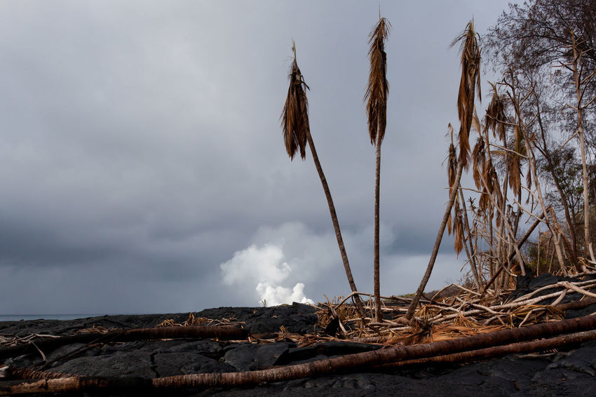 Three scorched palm trees, barely hanging on after a recent lava flow surrounded them. Apocalypse Billowing Death Destruction Life Smoke Beauty In Nature Burnt Dead Plant Dramatic Eruption Growth Kipuka Monotone No People Overcast Plant Sad Scenics - Nature Scorched Survival Survivor Three Tranquil Scene Tranquility