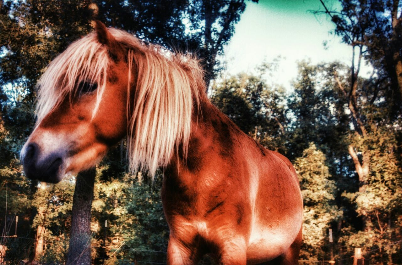 horse, domestic animals, animal themes, tree, one animal, mammal, day, outdoors, brown, standing, livestock, no people, nature, sky, close-up