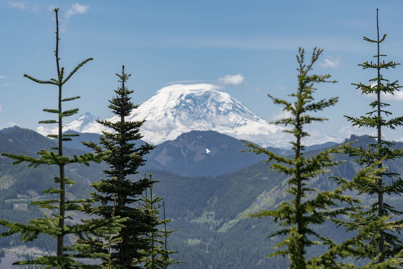 Glacier and snow covered mountain volcano dome peak framed by various pine trees.