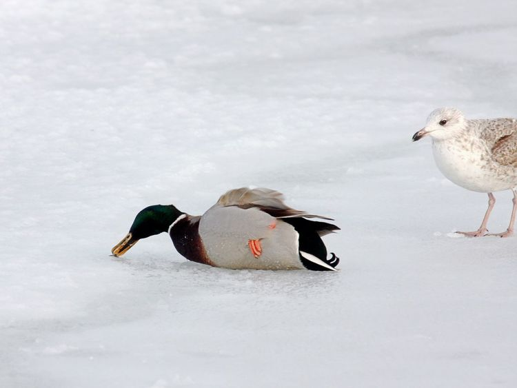 Animal Themes Animal Wildlife Animals In The Wild Bird Cold Temperature Day Duck And Seagull Nature No People Outdoors Snow Weakness Winter