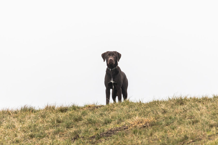 Animal Animal Themes Black Labrador Day Dog Domestic Animals Friendship Full Length Grass Grass He You Guys Labrador Retriever Looking At Camera Mammal Nature No People One Animal Outdoors Pets Portrait Retriever Weimaraner Whats Up