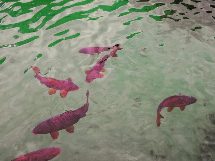Scenics Landscape Italy Fountain Flamingo Bird Red Sea Life Koi Carp Carp Floating In Water Fish Fishes Aquarium Stingray Underwater School Of Fish The Great Outdoors - 2018 EyeEm Awards The Traveler - 2018 EyeEm Awards