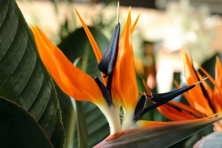 Beauty Ad Passion Beauty In Nature Bird Of Paradise - Plant Close-up Day Flower Flower Head Fragility Freshness Growth Nature No People Orange Color Petal Red Orange Blue